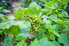 Blackcurrant ripening on branch in summer garden. royalty free stock images