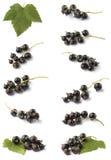 blackcurrant różnorodny Obraz Royalty Free