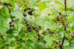 Blackcurrant shrub. In the garden royalty free stock images