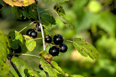 Blackcurrant. Summer garden. Royalty Free Stock Photo