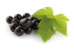 Blackcurrant twig Stock Photos