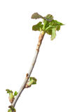 Blackcurrant twig top and fresh leaves Royalty Free Stock Photo