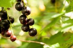Blackcurrant w ogródzie Zdjęcie Stock