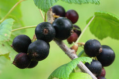 Blackcurrant Stock Images