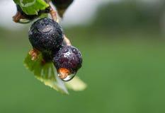 blackcurrants Стоковые Изображения RF