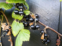 blackcurrants Стоковые Фото