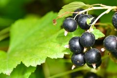 Blackcurrants on the bush branch in the garden stock photography