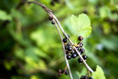 Blackcurrants on the bush branch after rain in the garden, harve royalty free stock photos