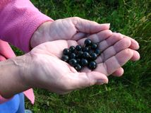 Blackcurrants fresly picked stock photos