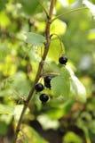 Blackcurrants in the garden. Sweet fresh black currants in the garden royalty free stock photos