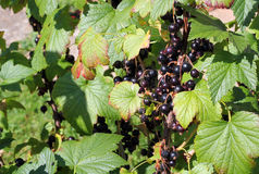 Blackcurrants growing. Royalty Free Stock Images