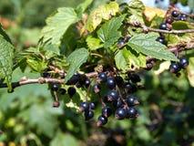 Blackcurrants op de struiktak Stock Foto's