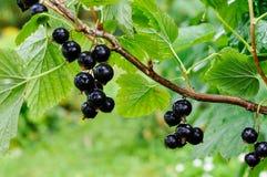 Blackcurrants op de struiktak na regen Royalty-vrije Stock Foto