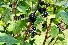 Blackcurrants owocowi Zdjęcia Stock