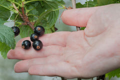 Blackcurrants Stock Image