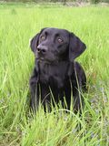 Blackdog.JPG Royalty Free Stock Image