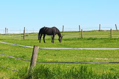 Blacke horse on green meadow background Stock Photo