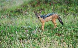 Blacked back jackal searches for food in tsavo national park Stock Image