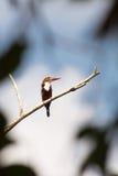 Blacked capped kingfisher Stock Photo