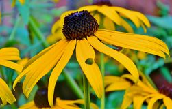 A Blacked eyed susan Royalty Free Stock Photography