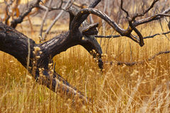 Blackened Burned Tree. Burned Trees remain in the wetlands of the V&T Railroad Canyon after the recent fire near Washoe Lake Stock Photography