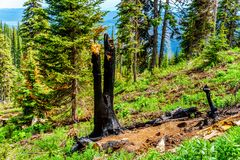 Blackened Tree due to Lightning Strike in the high Alpine of Tod Mountain in the Shuswap Highlands. Of British Columbia, Canada royalty free stock photography