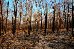 Blackened trees and bushland after bushfire Stock Photo