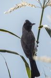 Blackeyed bulbul Stock Images