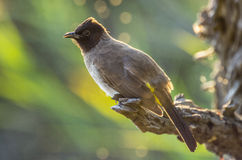 Blackeyed bulbul Royalty Free Stock Photos
