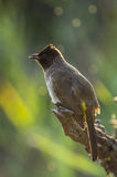 Blackeyed bulbul Stock Photography