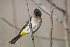 Blackeyed or common bulbul royalty free stock photos
