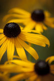 Blackeyed Susan Royalty Free Stock Photography