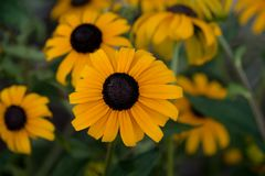 Blackeyed susan flower blossom. royalty free stock image