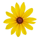 Blackeyed Susan flowers Stock Photos