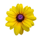 Blackeyed Susan flowers Stock Photography