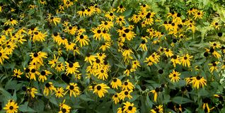Blackeyed susan panoramic Royalty Free Stock Images
