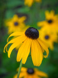 Blackeyed Susan Stock Image