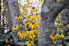 Blackeyed Susans die uit gluurt Royalty-vrije Stock Foto's
