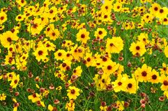 Blackeyed Susans. Field of yellow flowers in south east Texas Stock Images