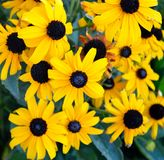 Blackeyed susans in the garden. Rudbeckia hirta, commonly called black-eyed Susan, is a North American flowering plant in the sunflower family, native to Eastern stock image