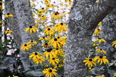 Blackeyed Susans peeking out royalty free stock photos