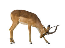 Free Blackface Impala Isolated On White Background Royalty Free Stock Images - 92356629