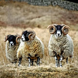 Blackface Rams - Scotland. A group of Blackface rams on Scottish moorland Stock Photography