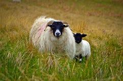 Blackface-Schafe und Lamm Lizenzfreie Stockfotos