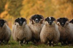 Blackface scozzese Fotografie Stock Libere da Diritti