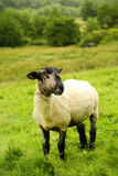 Blackface sheep in a field Stock Photo