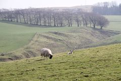 Blackface Sheep grazing in Scottish farm landscape Royalty Free Stock Photo