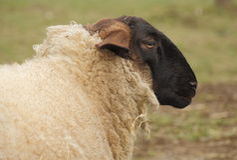 Blackface Sheep Stock Images