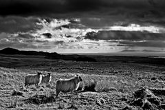 Blackface Sheep & the Solway Firth - Scotland. Tough blackface sheep in moorland pasture high above the distant Solway Firth - Scotland Royalty Free Stock Photography