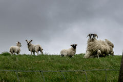 Blackface sheep in the wind. Scotland, England. Scottish sheep and lams in the wind Stock Photos